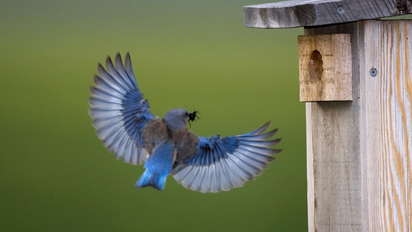 symbolic-meaning-bluebird