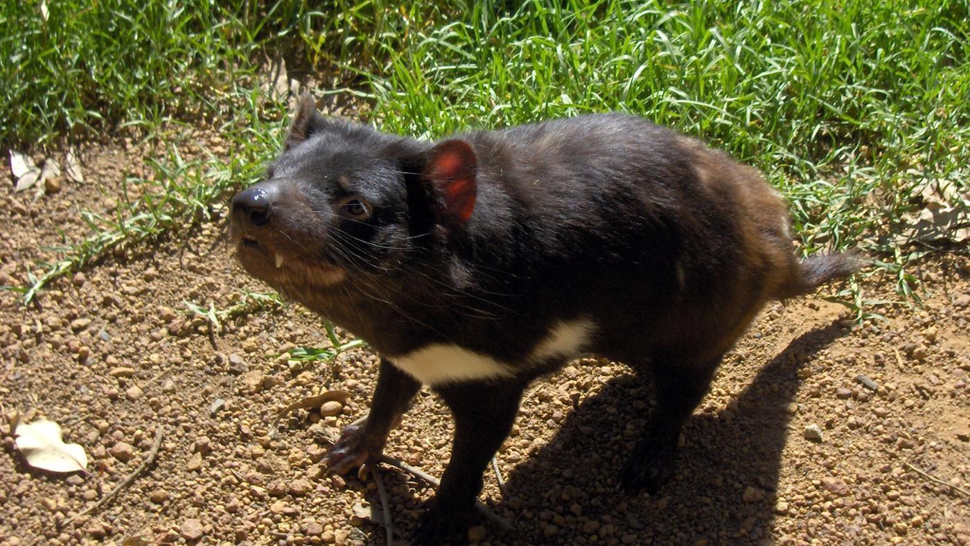 tasmanian-devils-eat