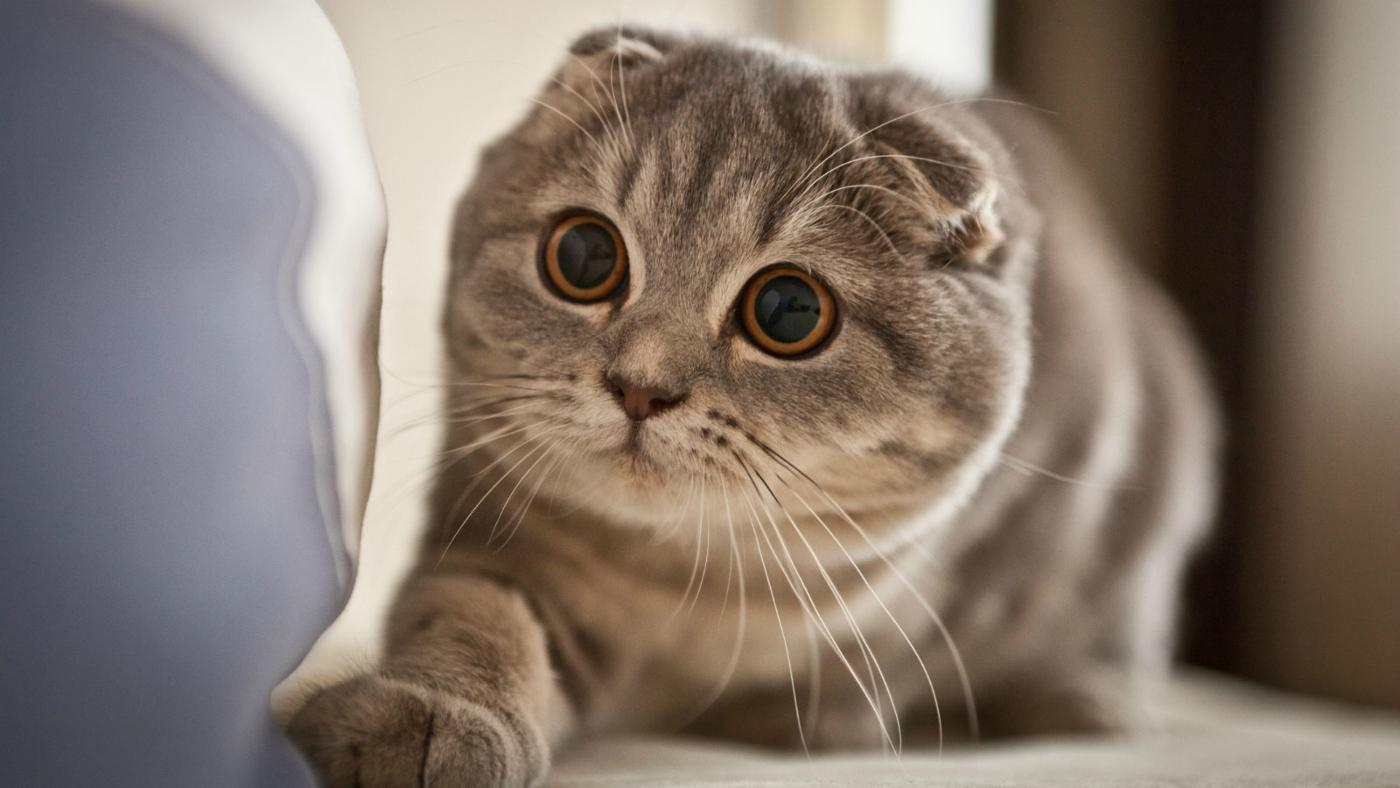 things-consider-before-buying-scottish-fold-kitten