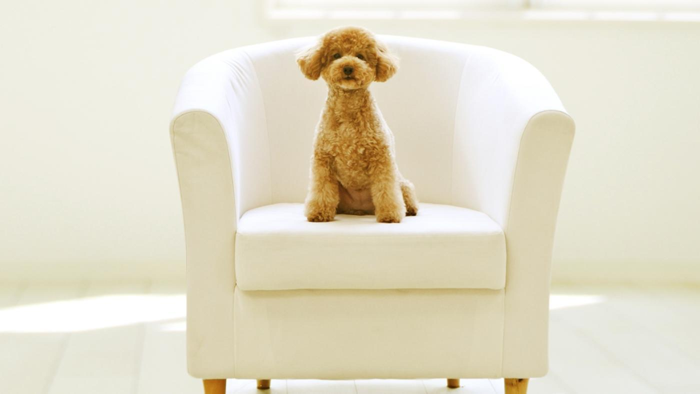 toy-poodle-full-grown