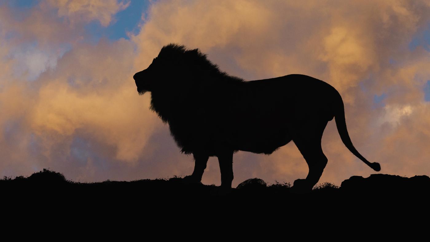 predator-lion