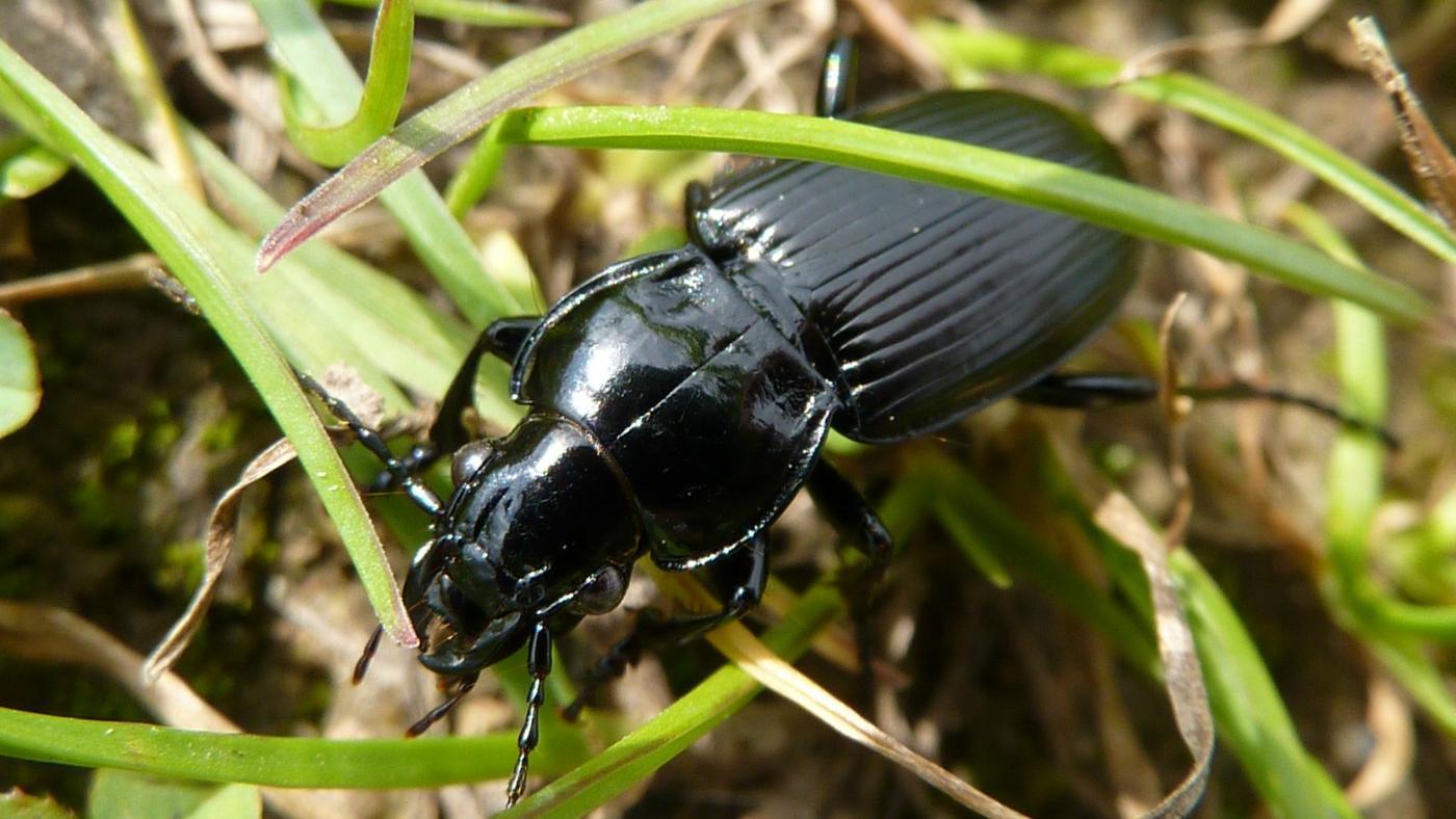 black-beetles-eat