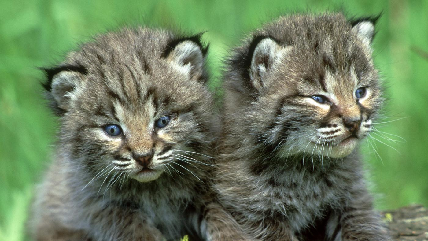 baby-bobcat-called