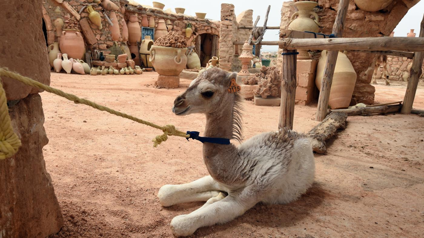 baby-camel-called
