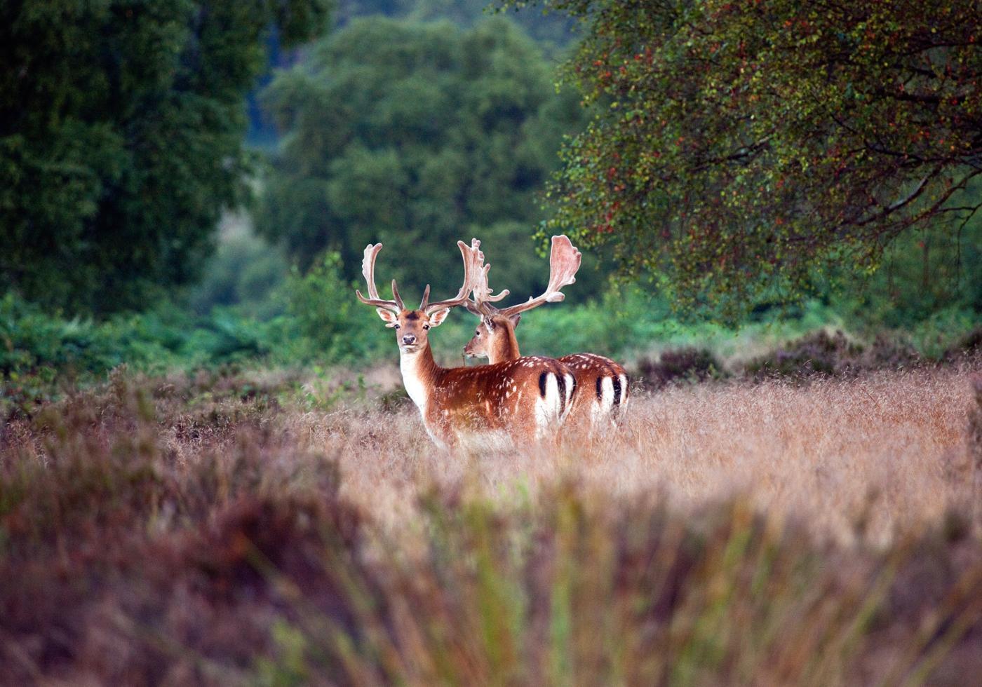 deer-s-natural-habitat