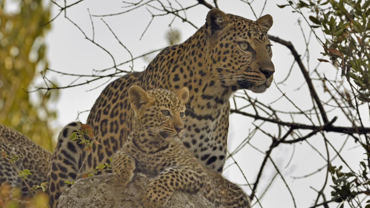 group-leopards-called