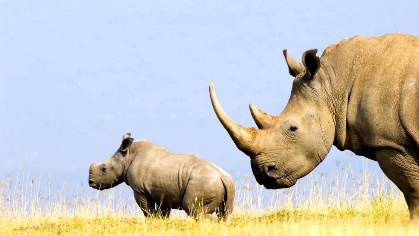 rhino-s-horn-made-out