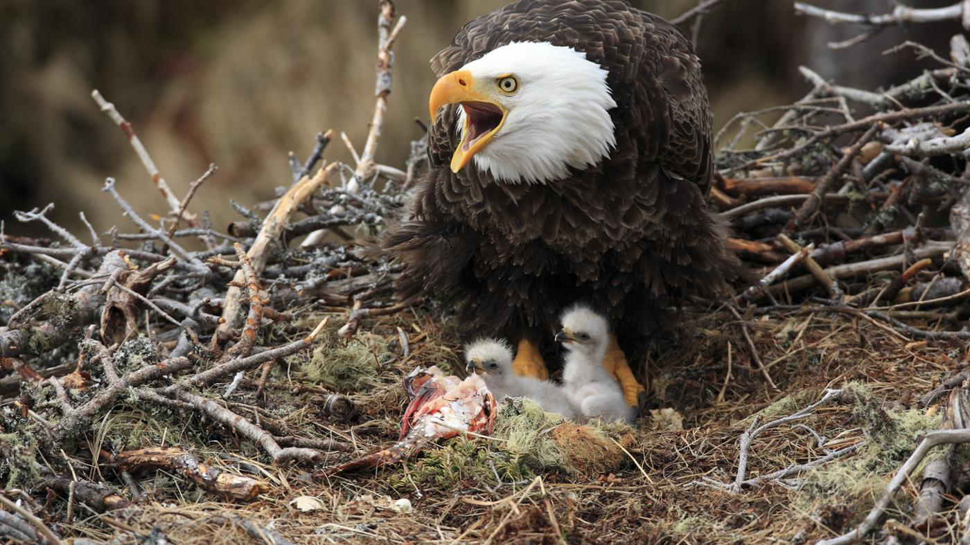 young-eagle-called