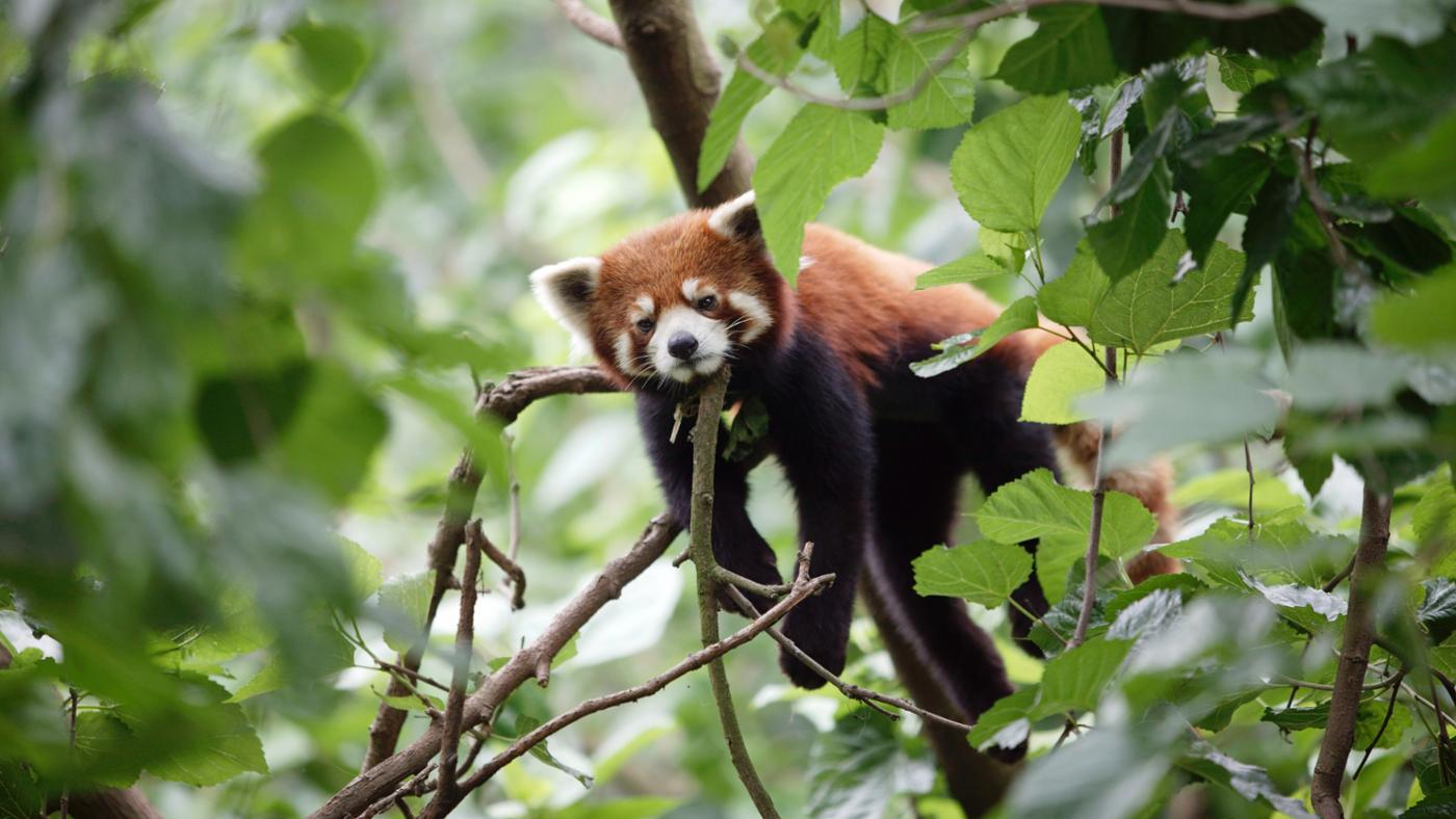 being-done-save-red-panda