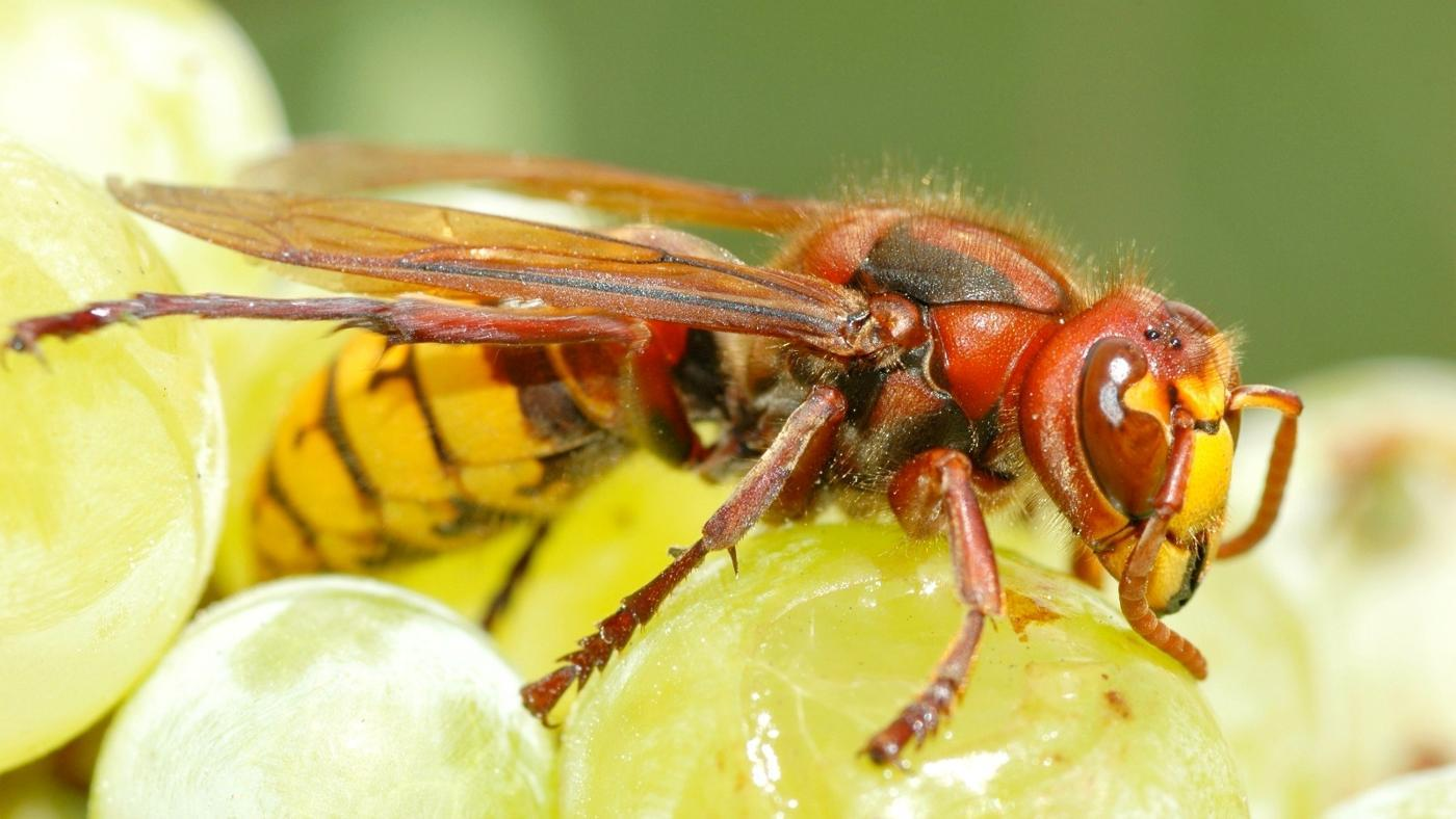 difference-between-wasps-hornets