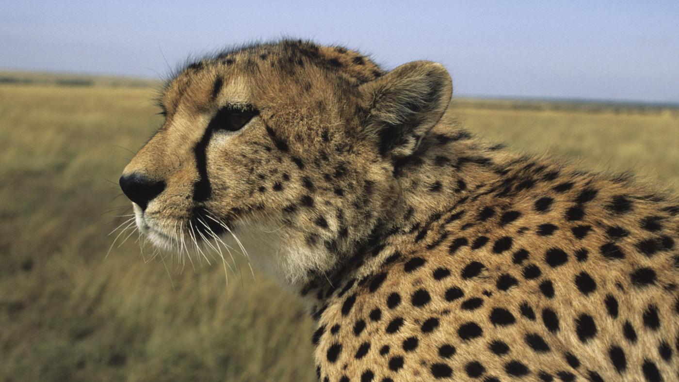 cheetahs-live