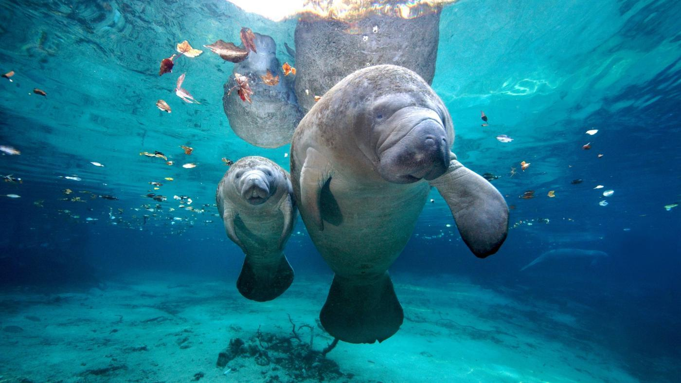 What Is the Habitat of a Manatee?