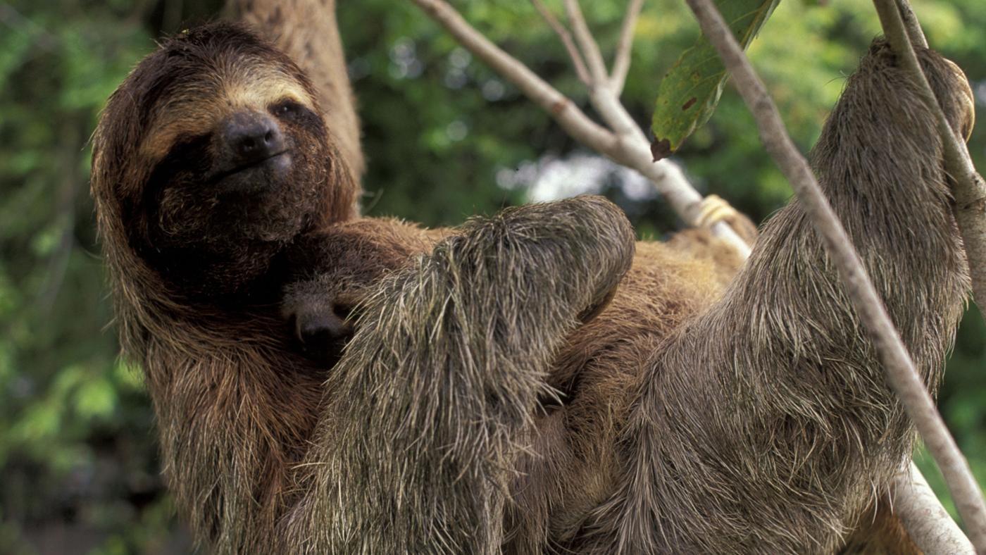 How Do You Adopt a Sloth?
