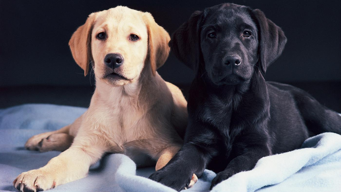 At What Age Can a Male Dog Breed?
