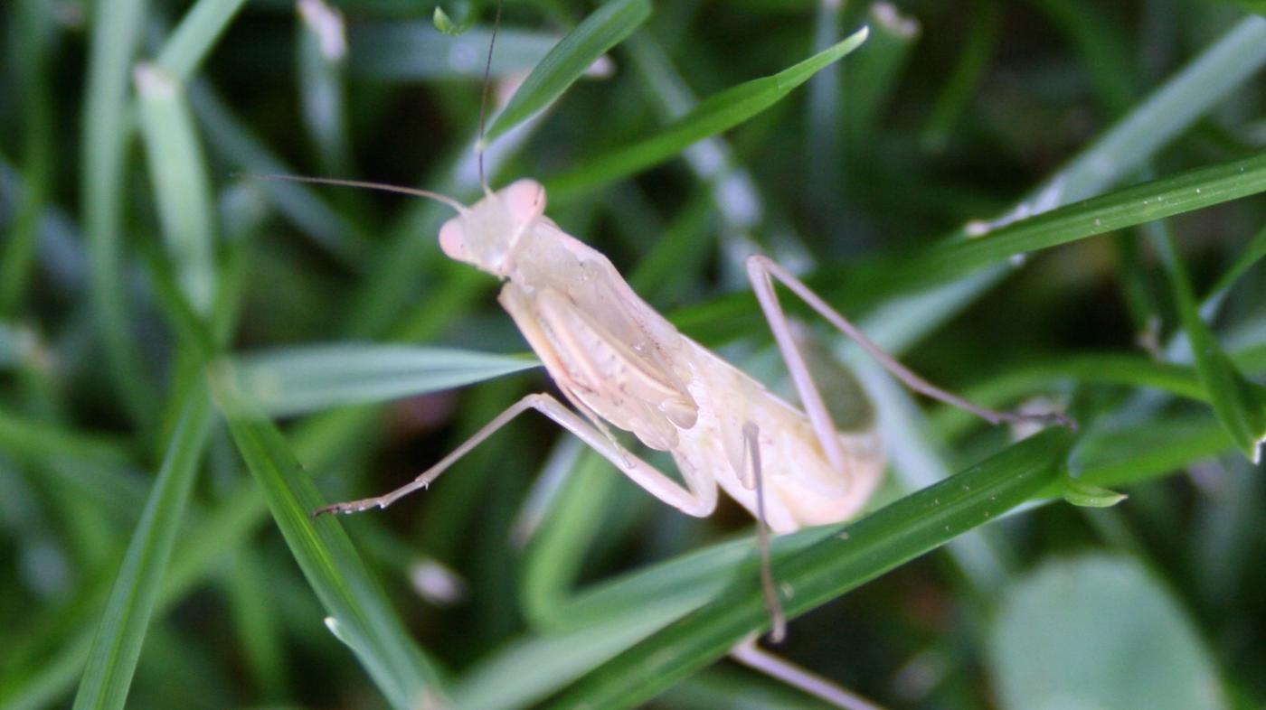 What Is an Albino Praying Mantis?