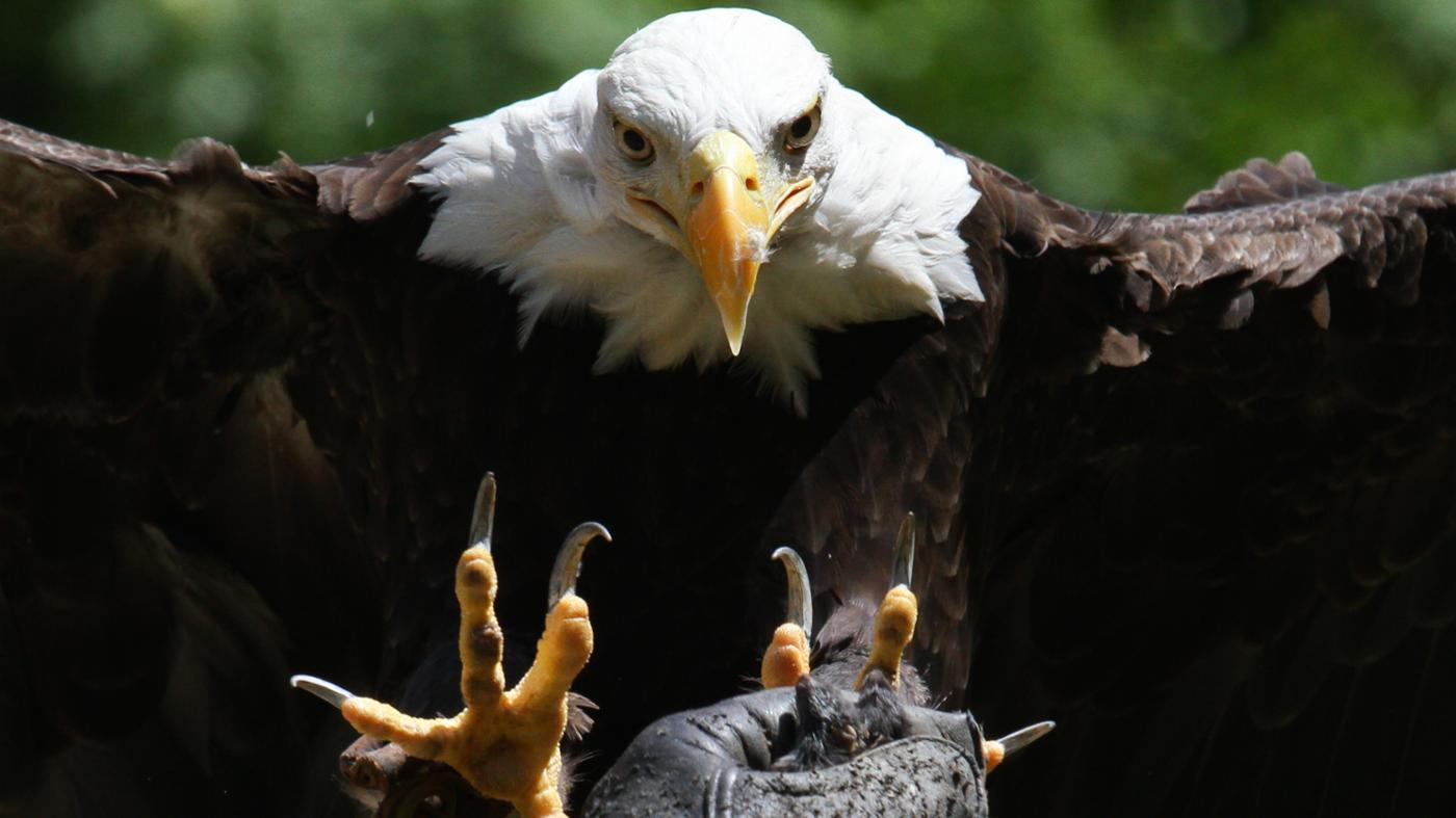 What Animal Eats an Eagle?