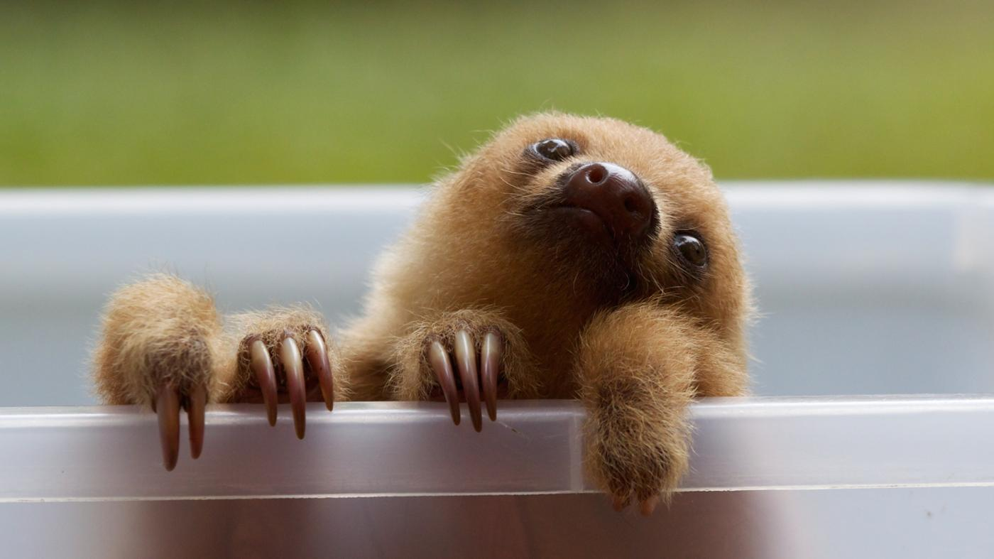 What Animals Eat Sloths?