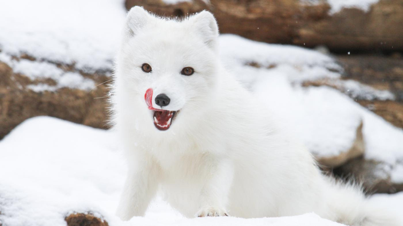 Where Do Arctic Foxes Live?
