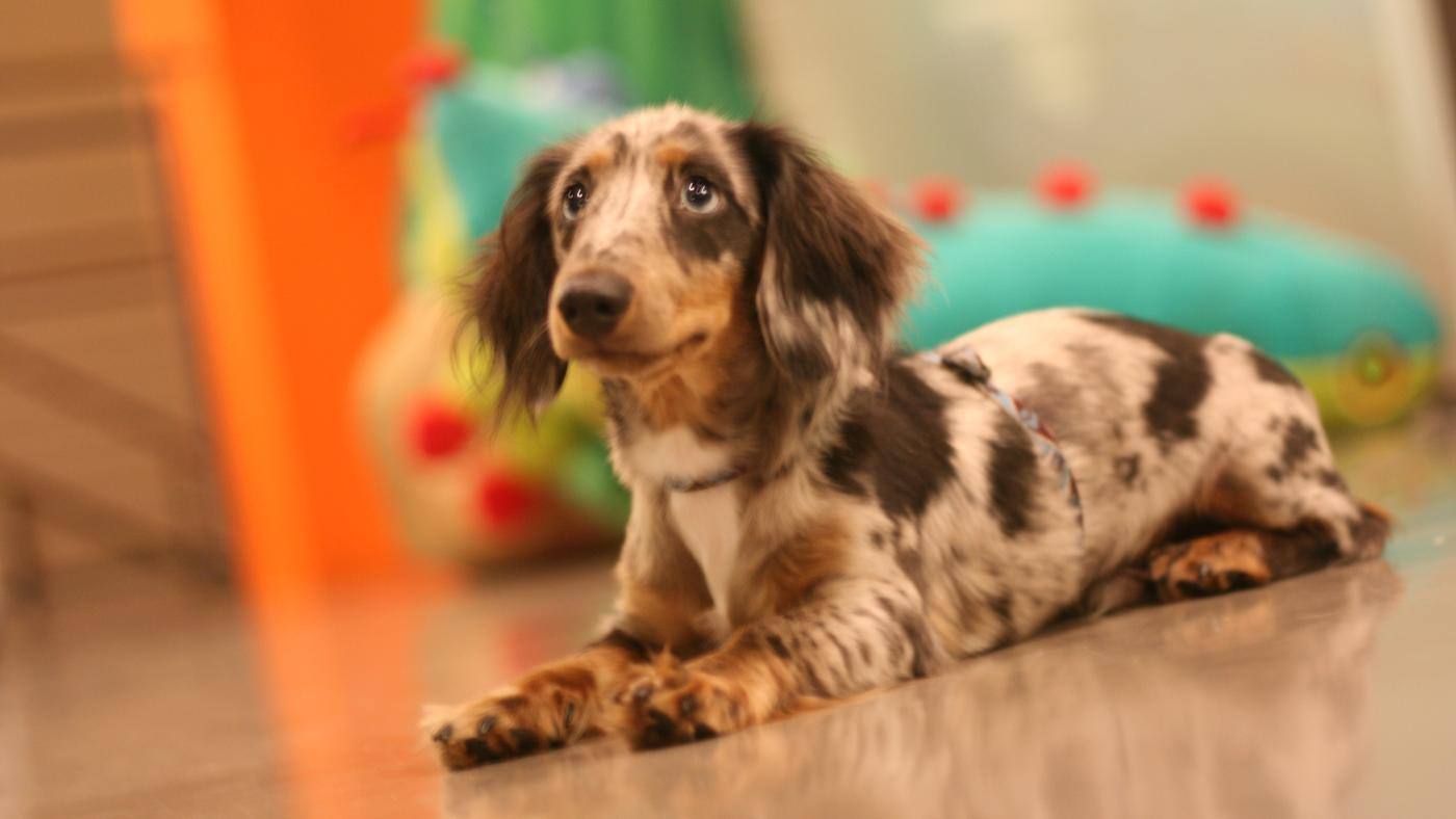 What Is the Average Price for a Dapple Dachshund Puppy?