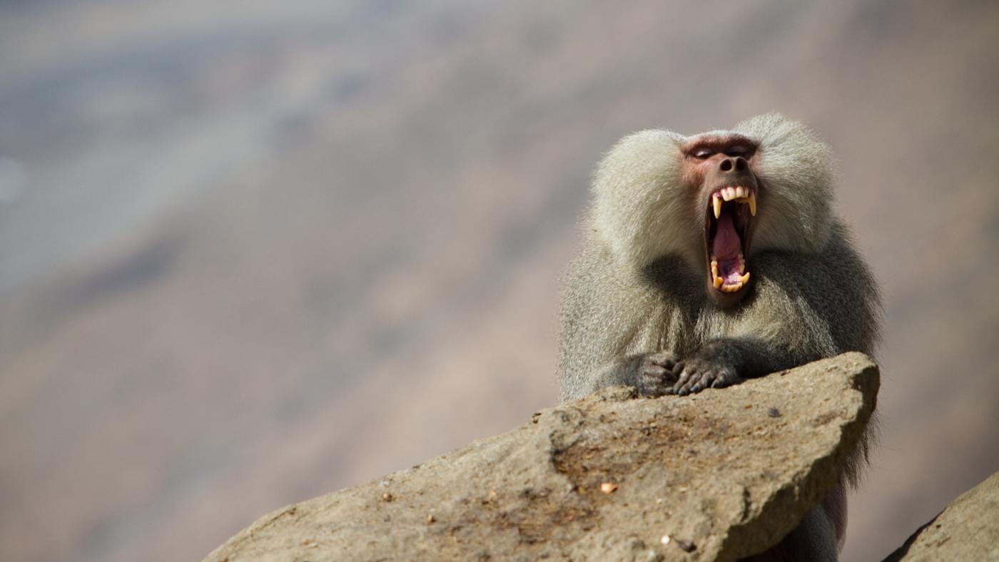 How Long Are a Baboon's Teeth?