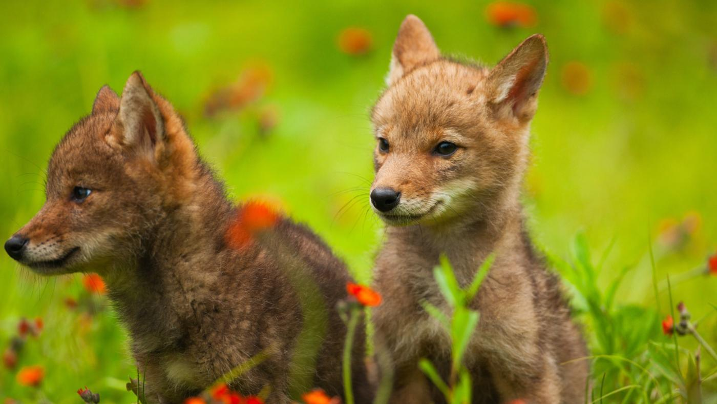 What Is a Baby Coyote Called?