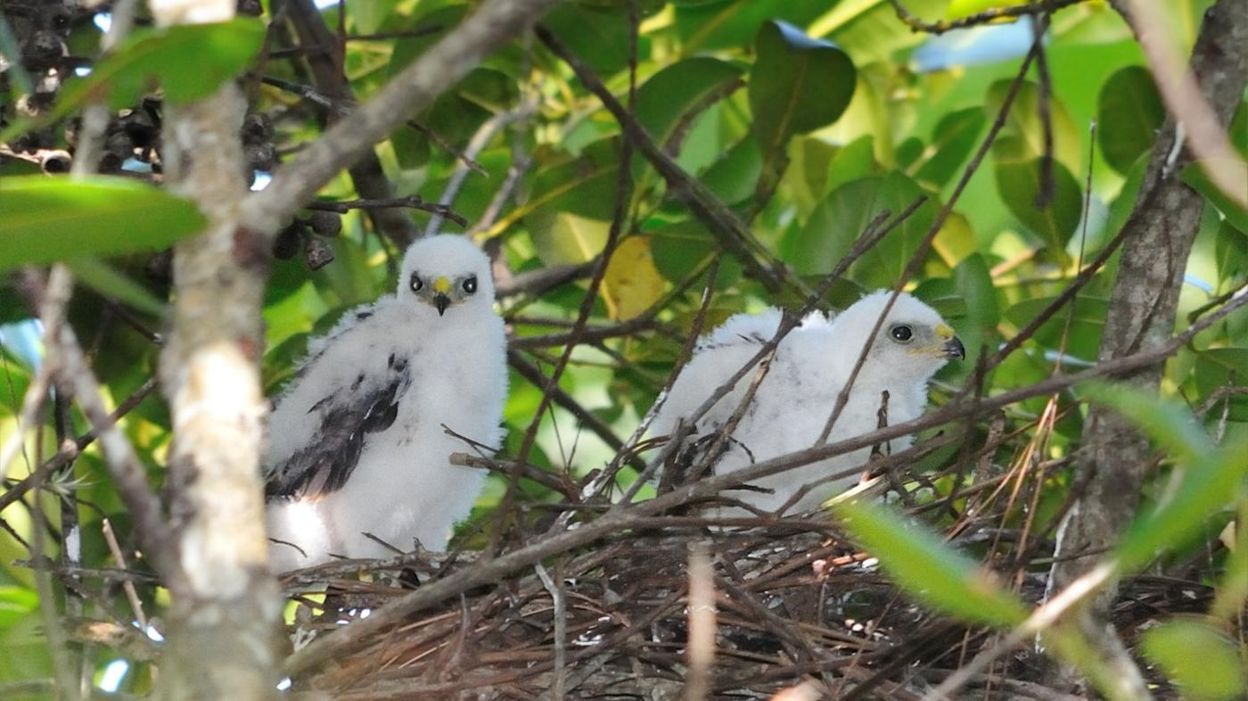 What Is a Baby Hawk Called?