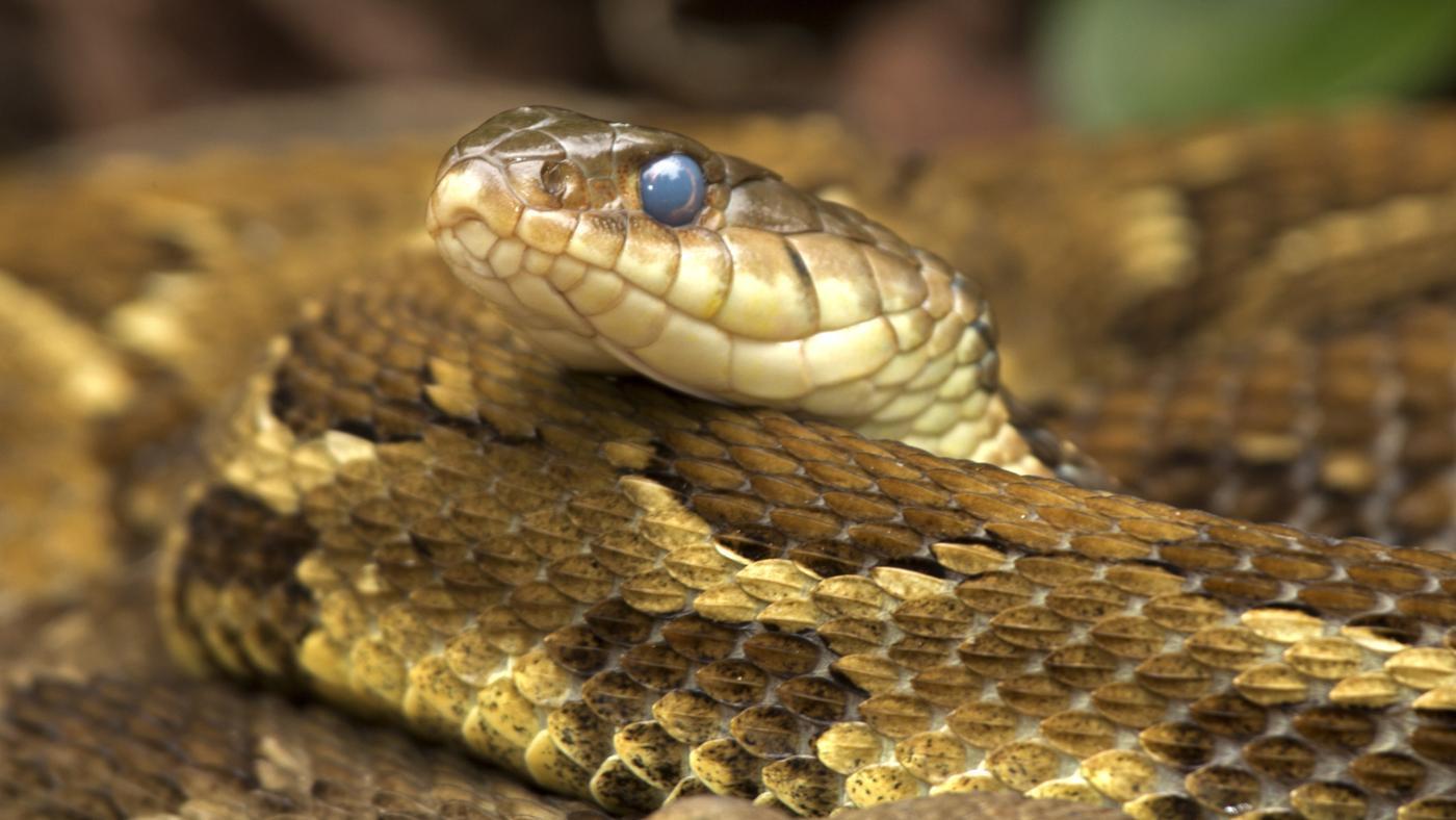 What Do Baby Rattlesnakes Eat?
