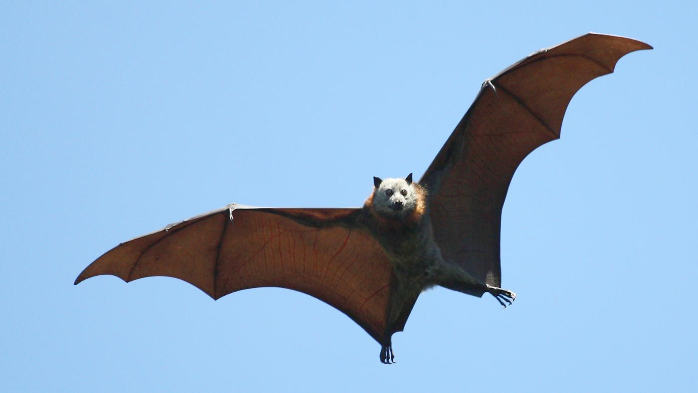 Is a Bat a Marsupial?