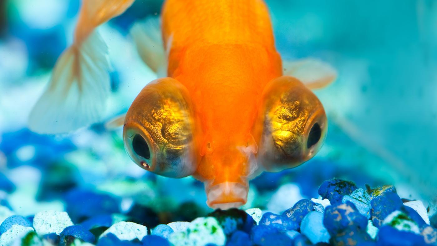 What Are Big-Eyed Goldfish?