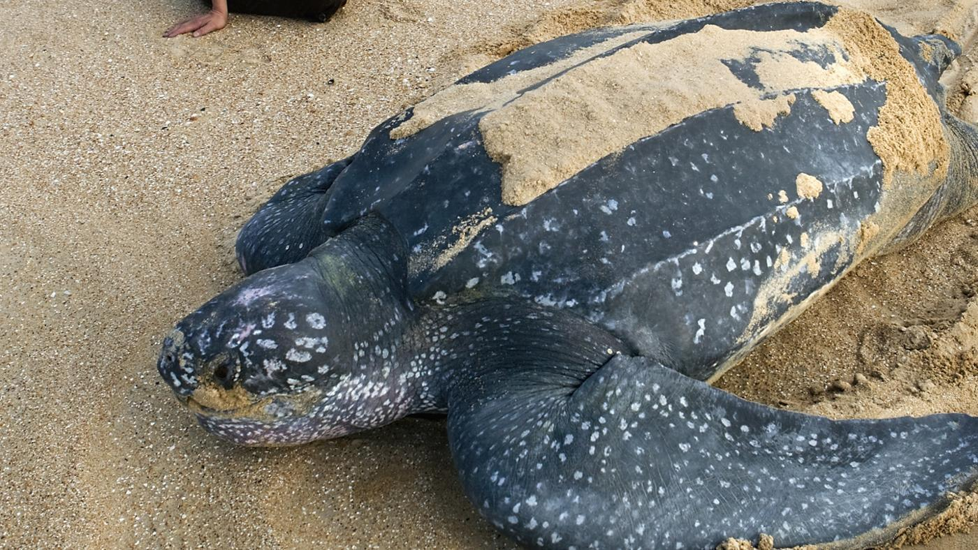 What Is the Biggest Turtle Ever Recorded?