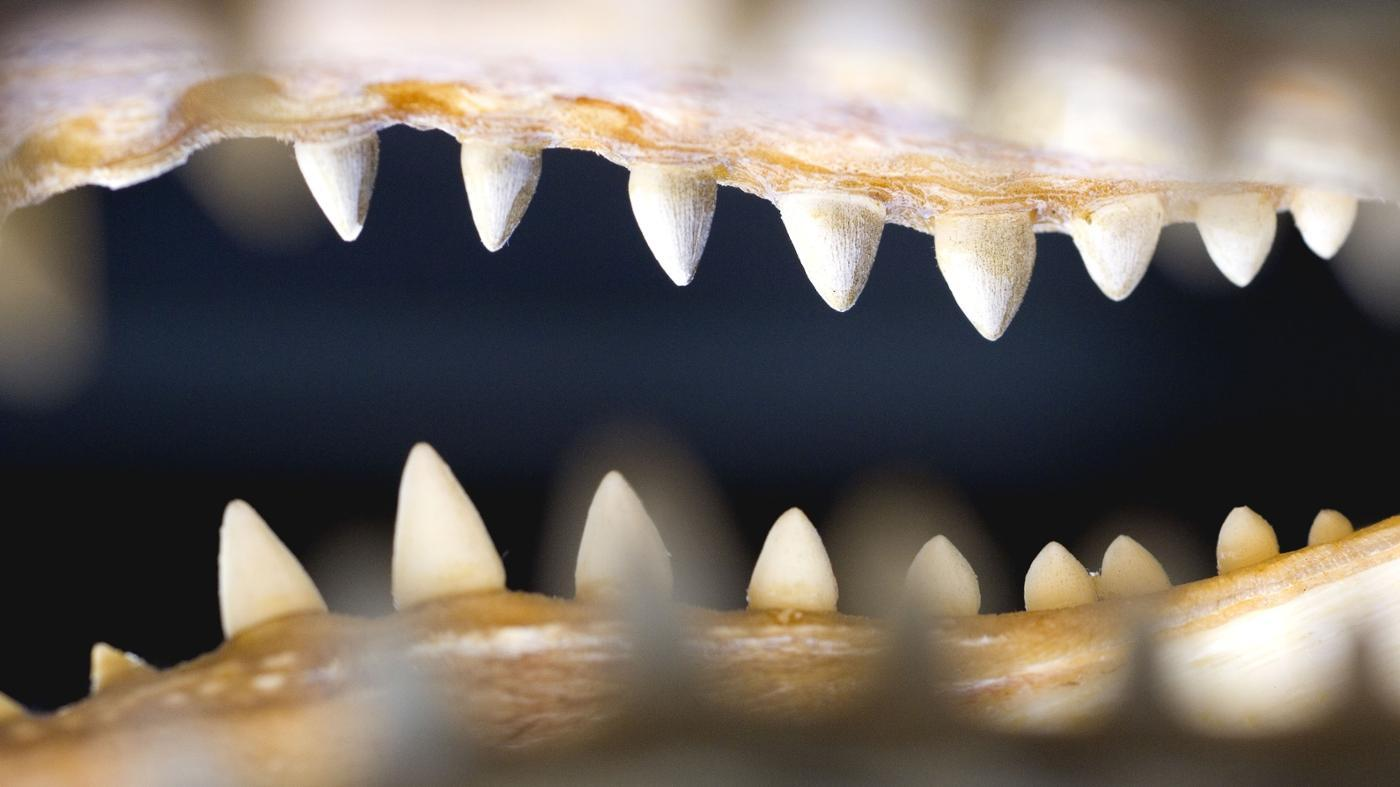 What Is the Bite Pressure of an Alligator?