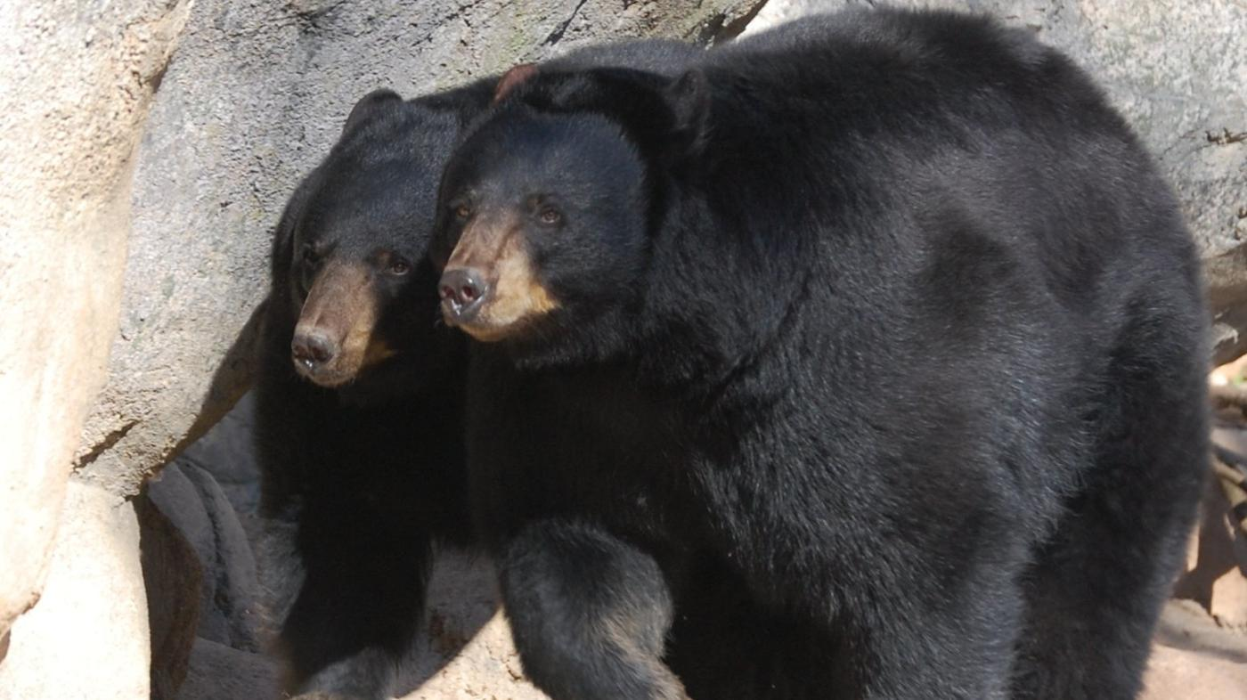 What Do Black Bears Look Like?