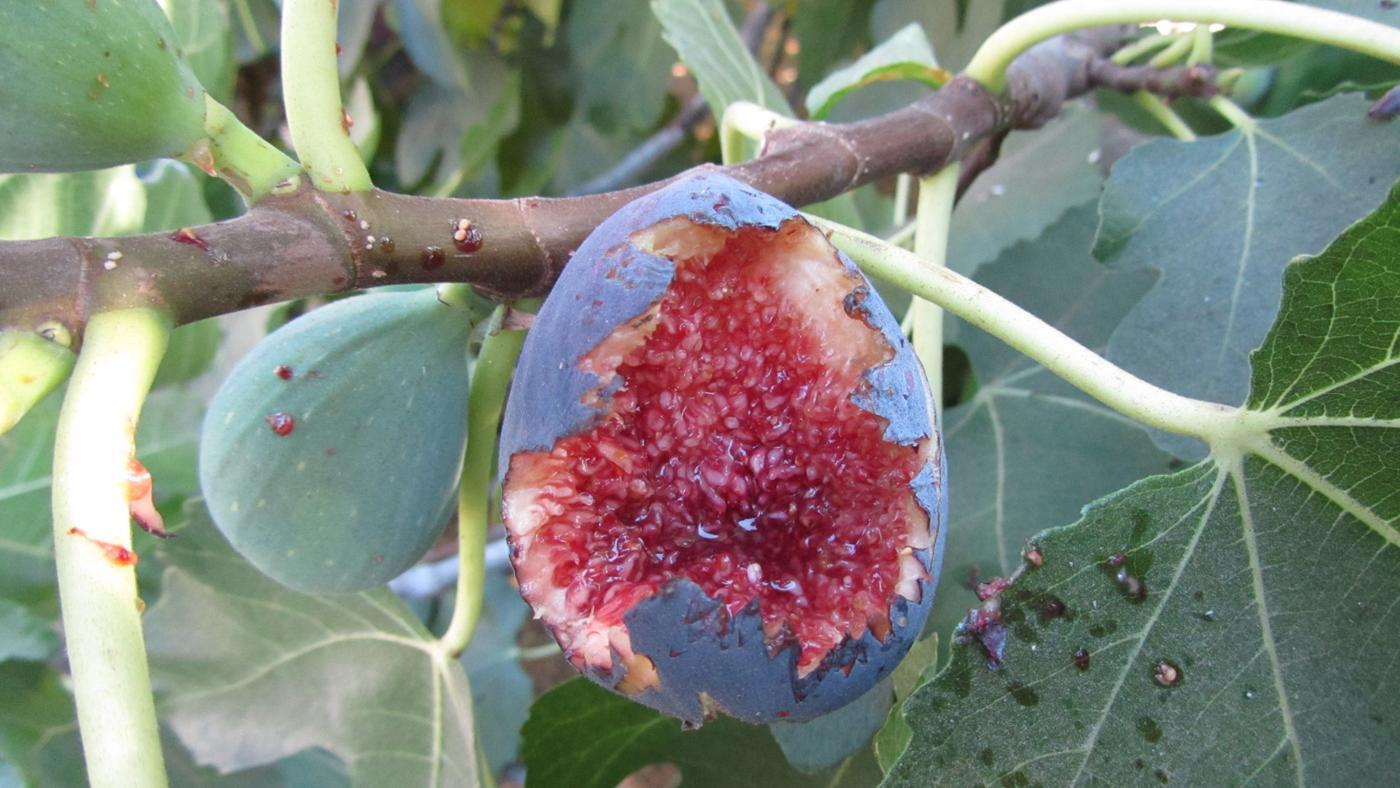 What Is a Black Mission Fig Tree?