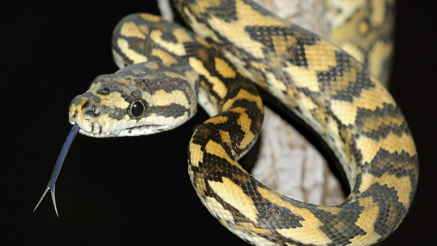 What Is a Black Snake With Yellow Diamonds?