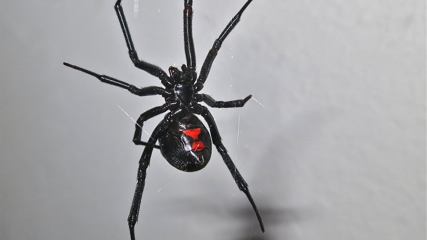 What Does Black Widow Venom Do When You Are Bitten?