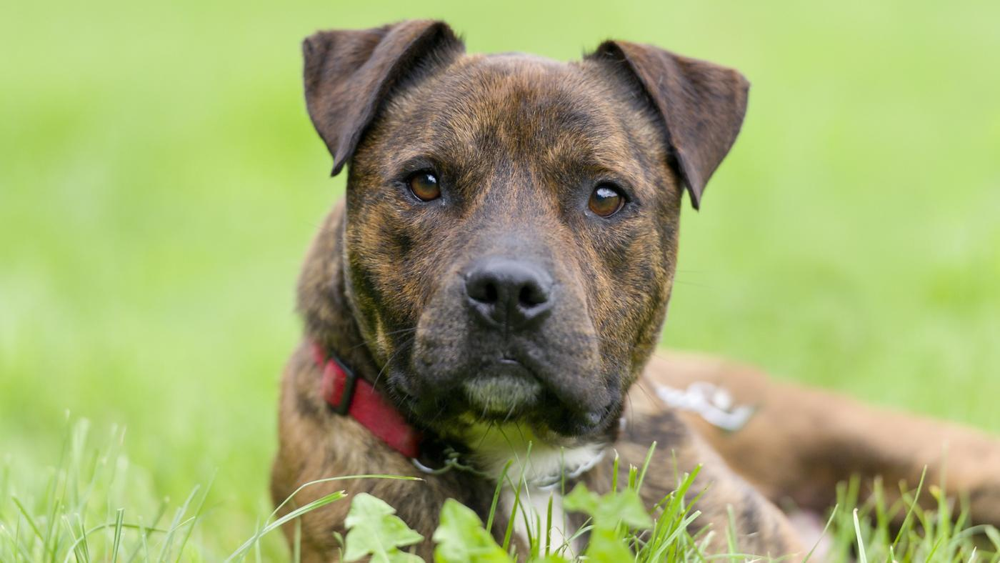 What Are Brindle Pit Bull Puppies?