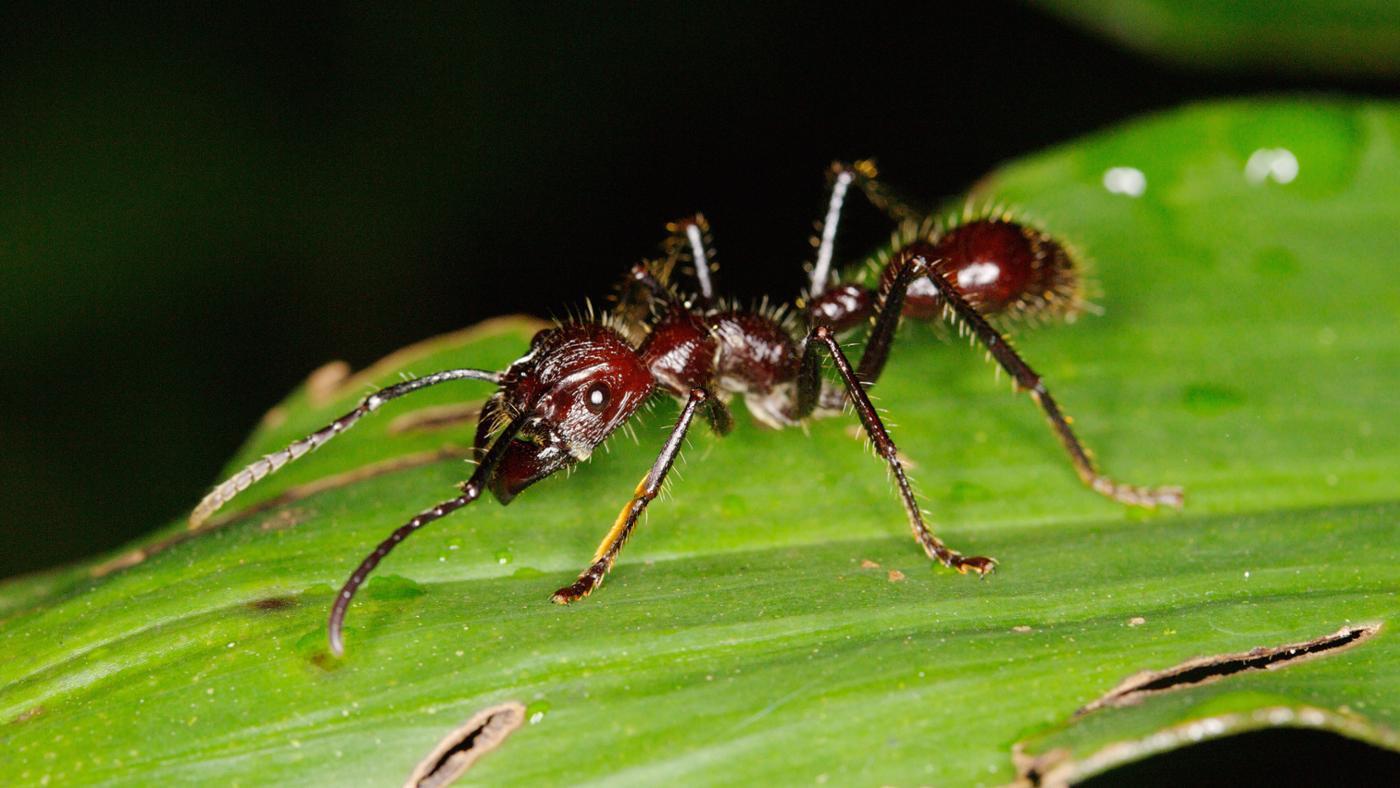 Where Do Bullet Ants Live?