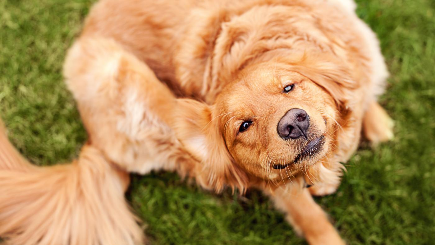 Can Dog Fleas Bite Humans?