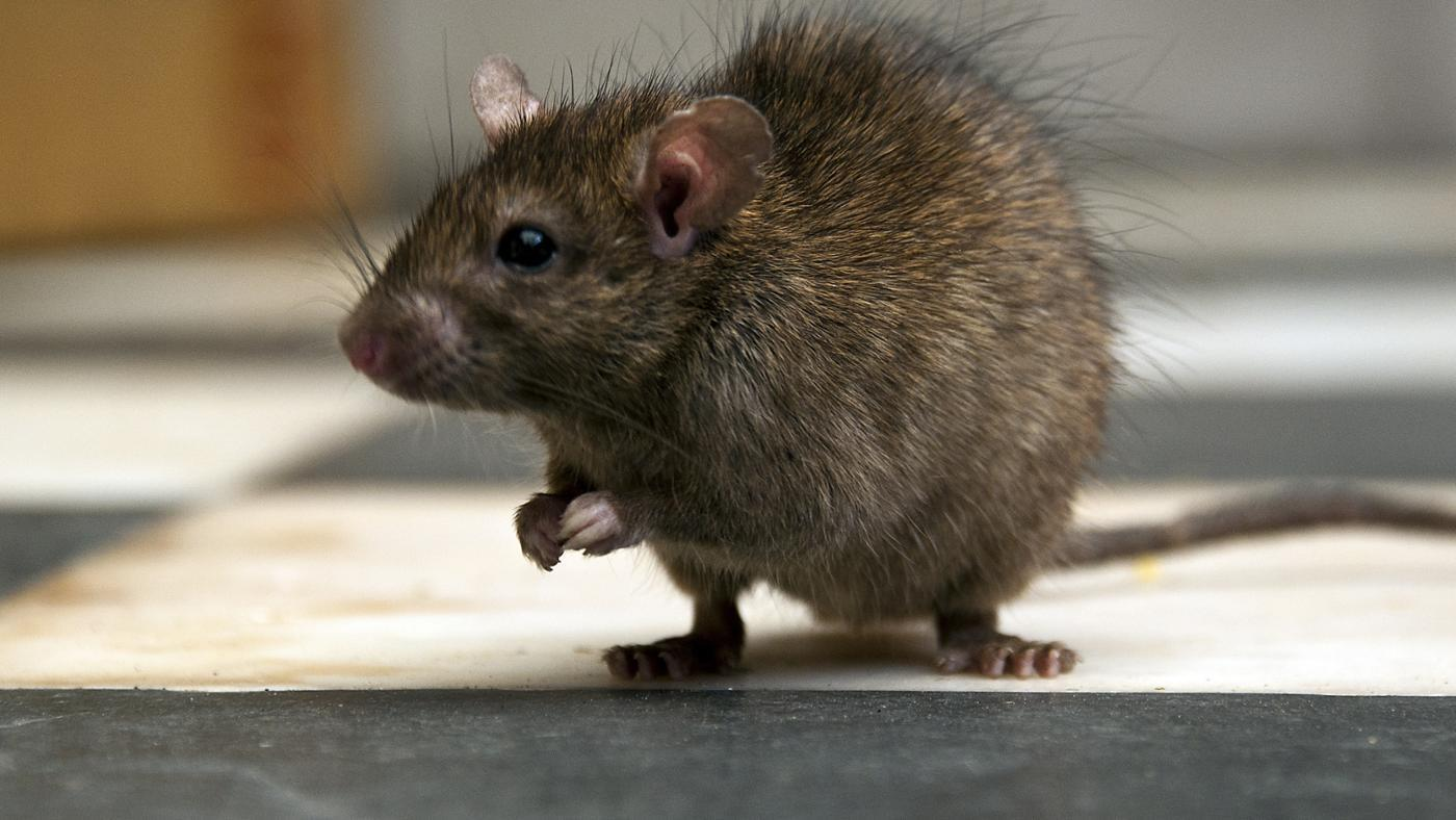 Can I Get Rabies From a Rat Bite?