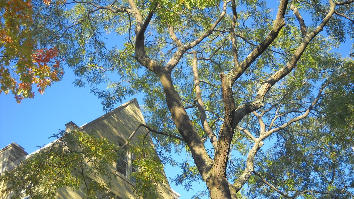 How Can You Identify a Locust Tree?