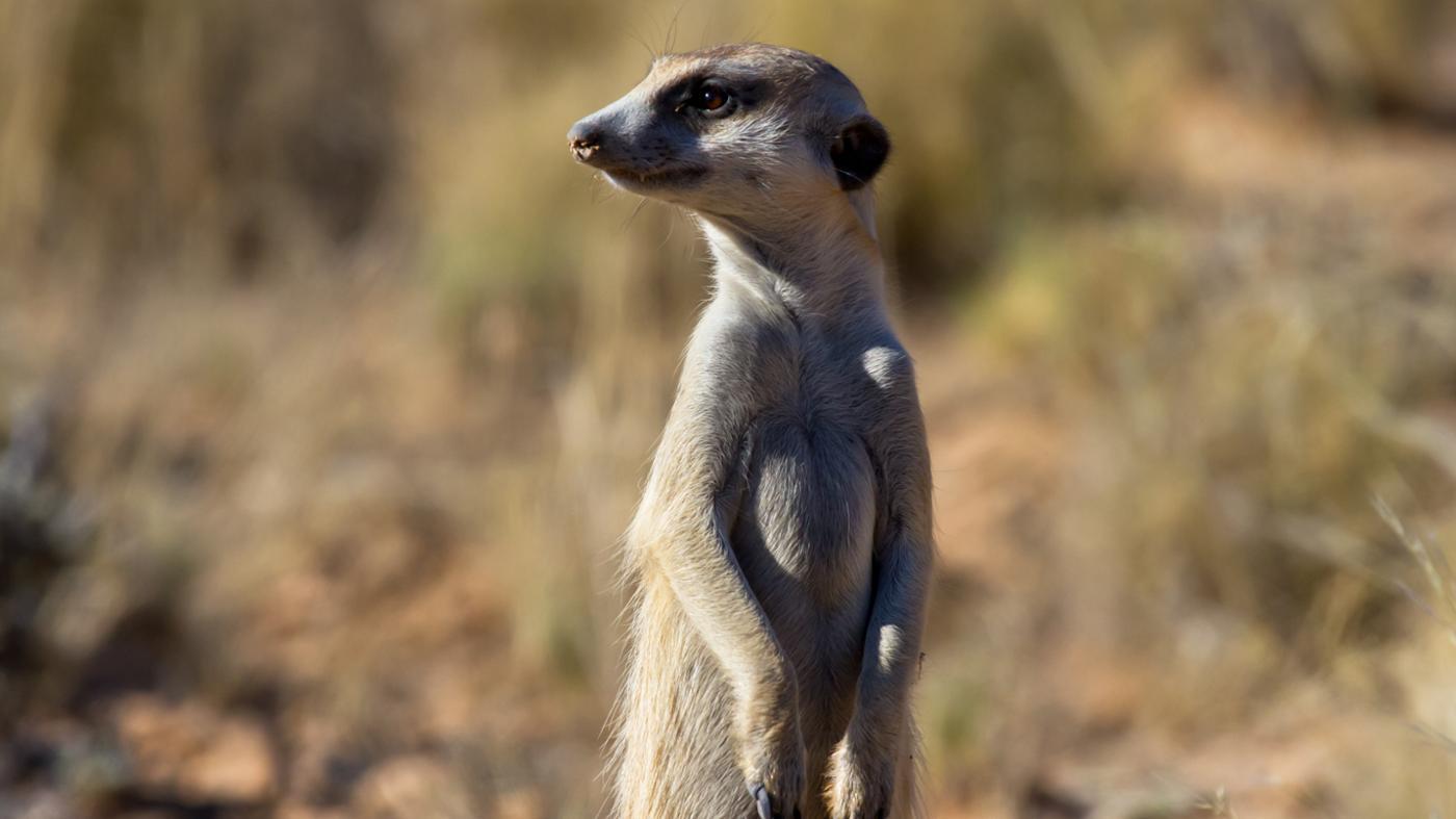 Can I Keep a Meerkat As a Pet?