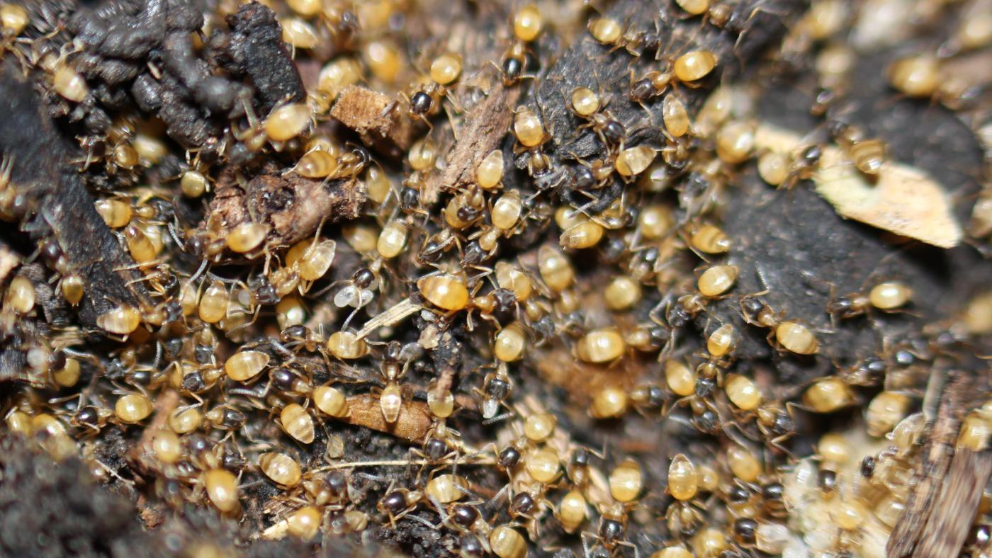 How Can You Kill Ghost Ants?