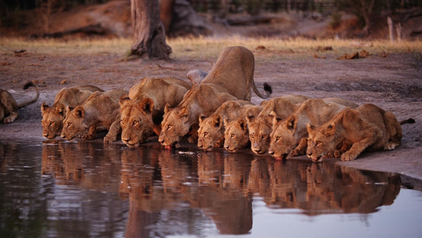 Can Lions Swim?