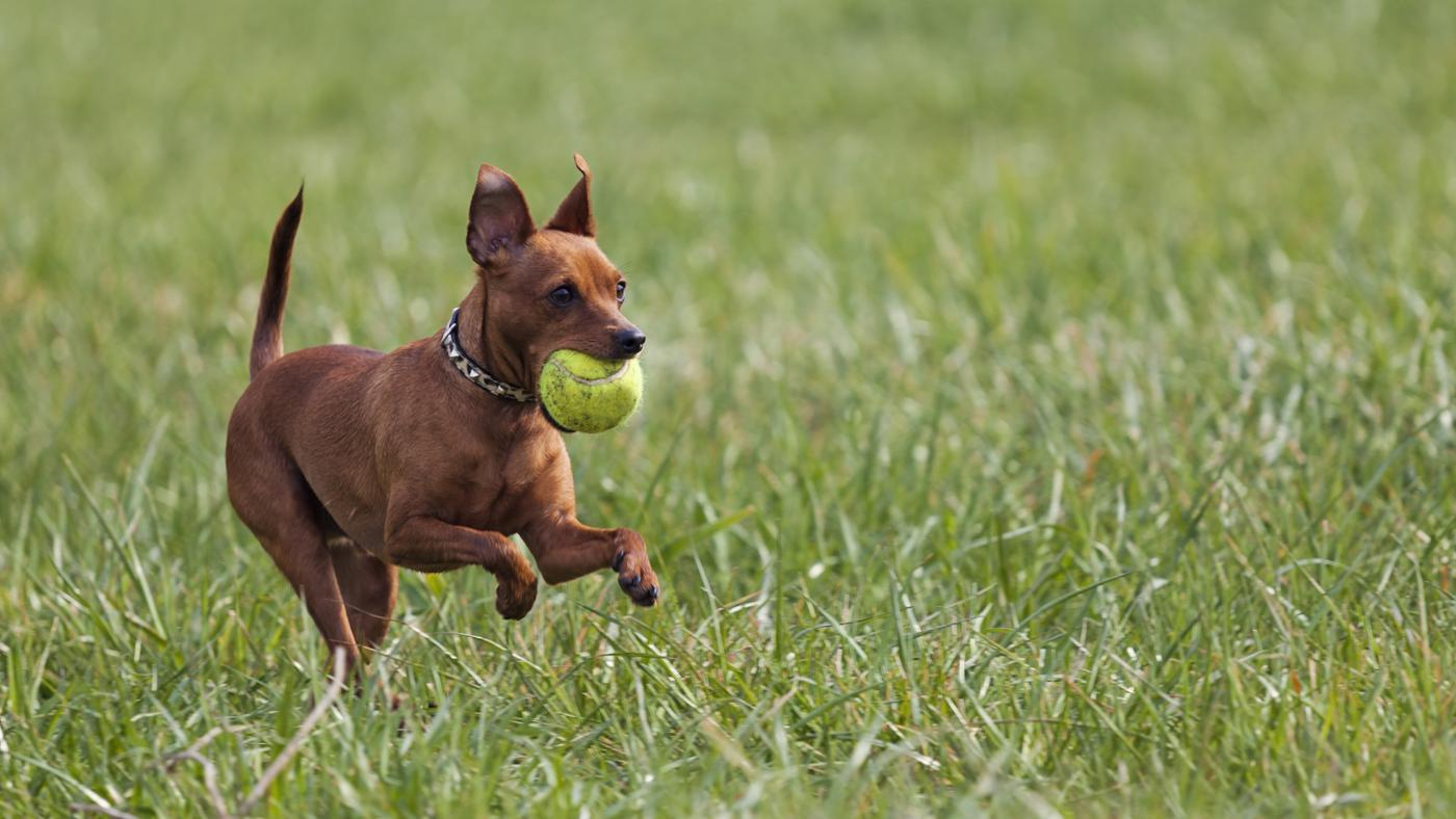 How Can You Find Free Miniature Pinscher Puppies?