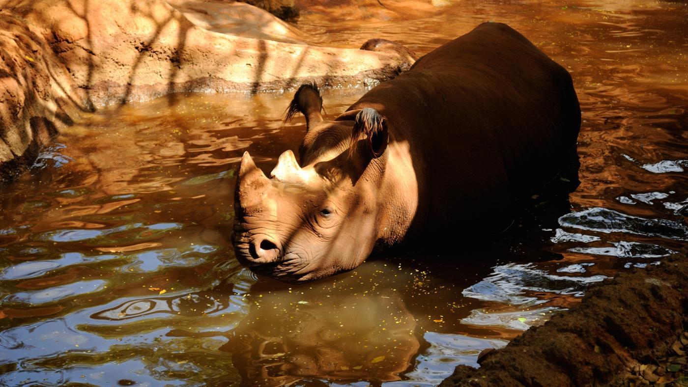 Can Rhinos Swim?