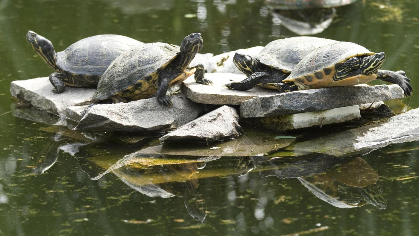 How Can You Tell How Old a Snapping Turtle Is?