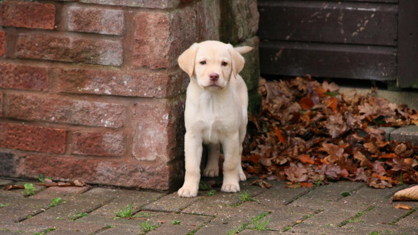How Do You Care for a Labrador Puppy?