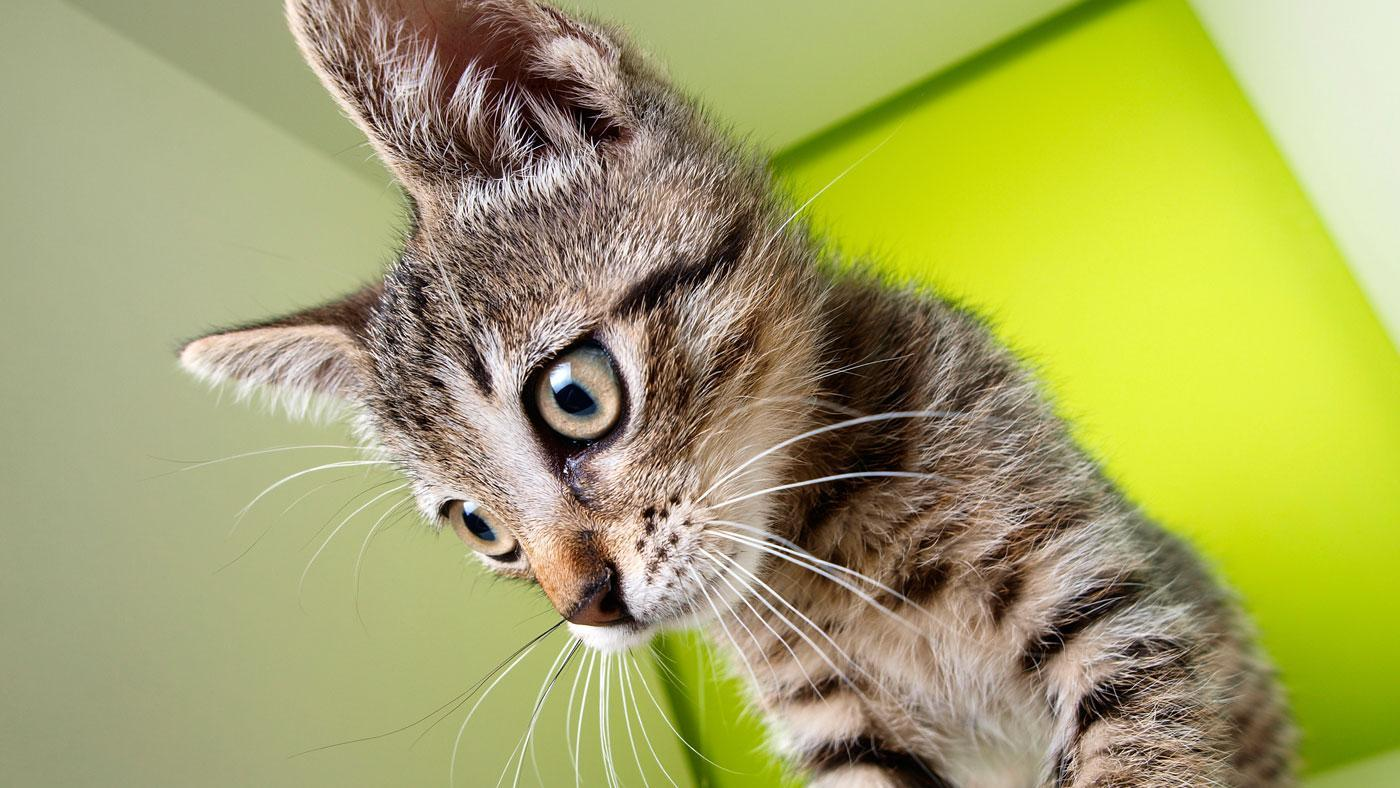 Will a Cat Without Whiskers Lose It's Sense of Balance?