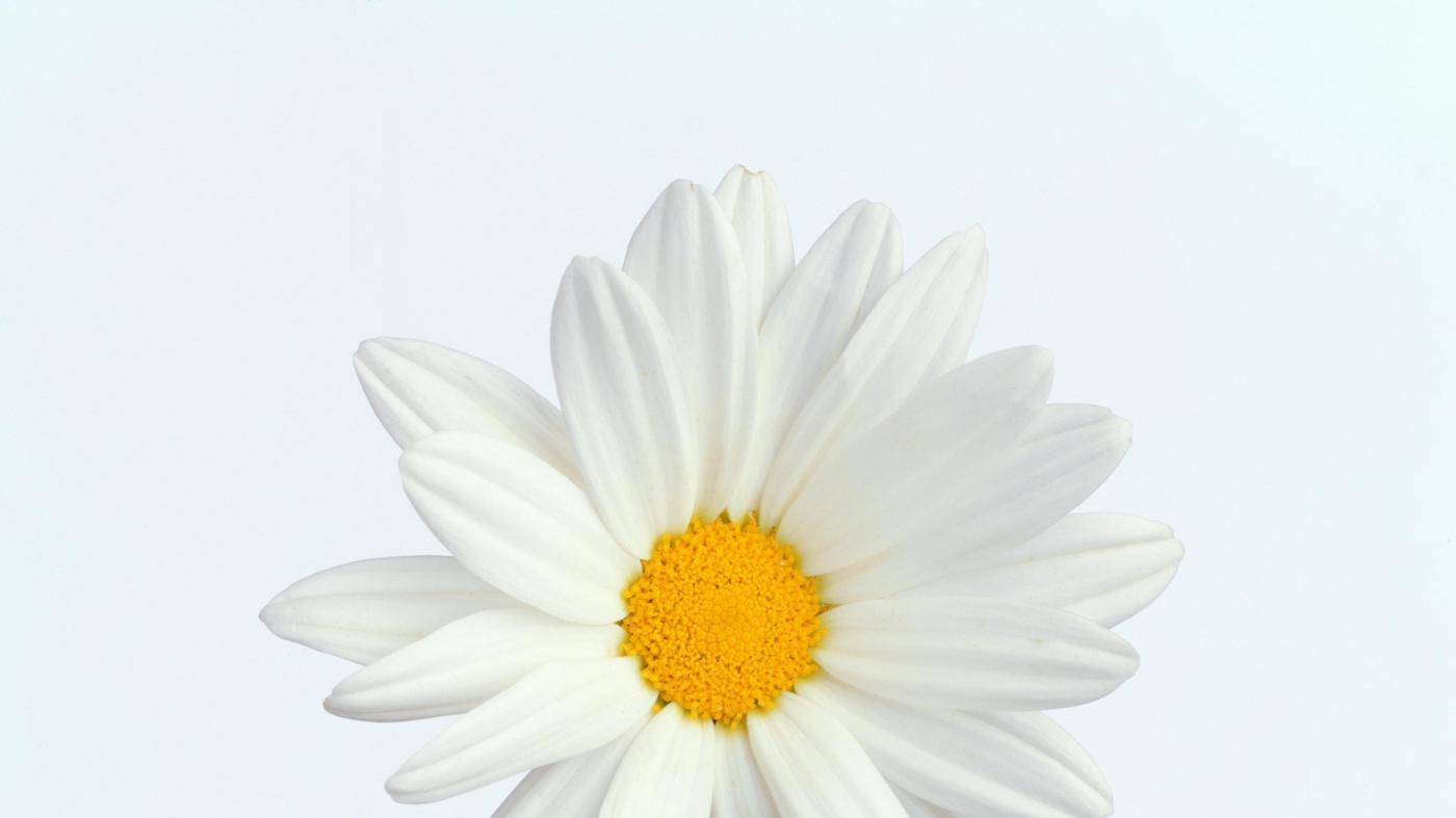 What Is the Center of a Daisy Called?