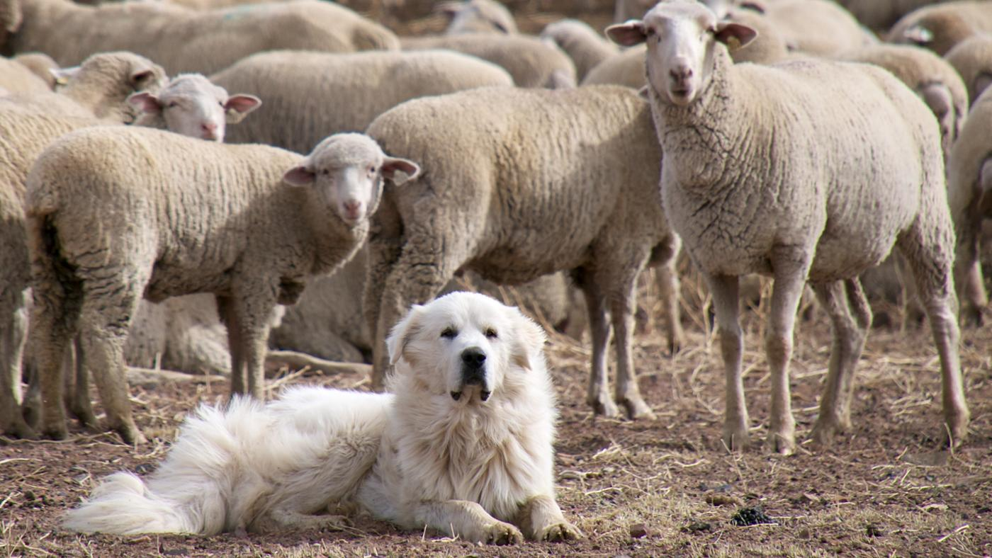 What Are the Characteristics of a Great Pyrenees Mix?